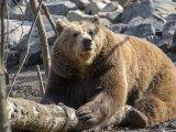 Kint marad a medve vagy visszabújik a barlangjába? Február 2-án kiderül, meddig tart még a tél - a néphagyomány szerint