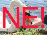 Madáretetés kisokos - Ezért ne etesd a vízi madarakat, és ne tanítsd erre a gyereket se! Mit adhatsz az énekesmadaraknak?