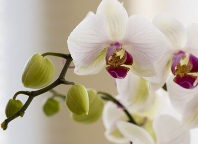 Thaiföld csodálatos orchideái - kiállítás és vásár 2015. április 17–19-én