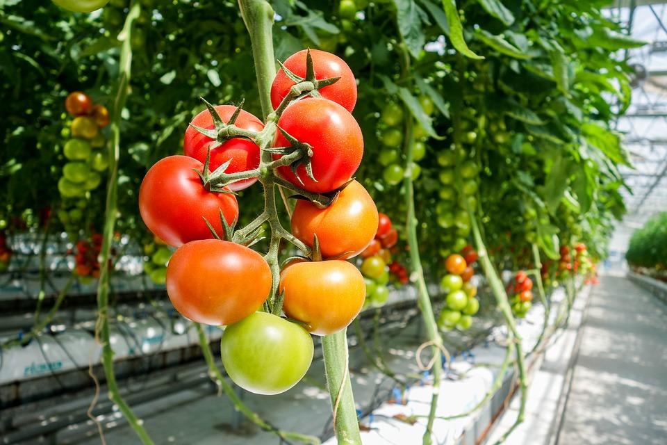 Hogyan termessz paradicsomot egyszerűen a balkonon vagy kis helyen? Kertész tippjei