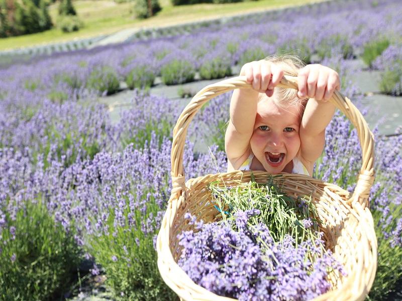 Levendulaszüret és levendulafesztivál 2017: 10 helyszín és időpont, ahol levendulát szedhetsz az országban - Vidd el a gyereket is!