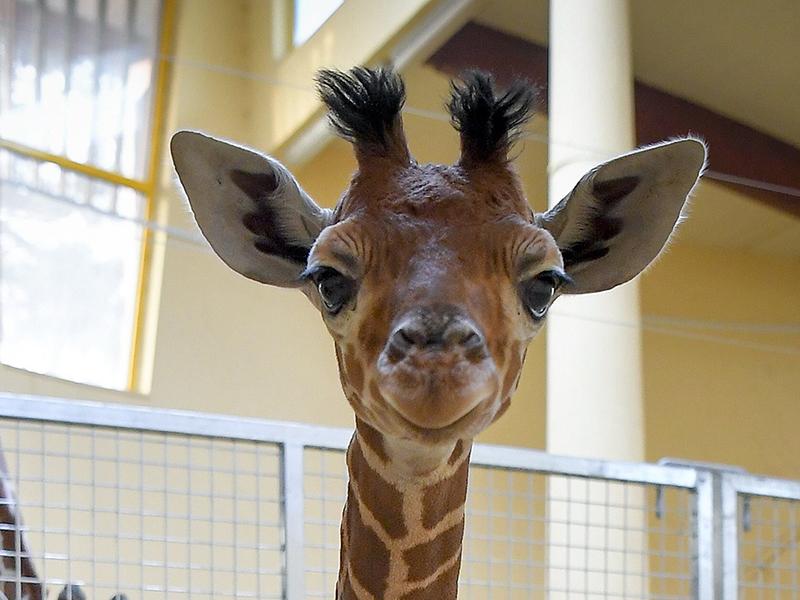 Fotók: cuki kis zsiráf született a Debreceni Állatkertben! Most mutatták meg először a nagyközönségnek