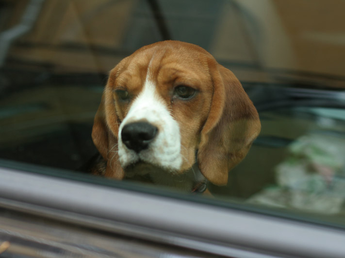 A forró autóban hagyta kutyáját egy nő, amíg elment kávézni! Több mint félmillió forintnyi pénzbüntetést szabtak ki rá